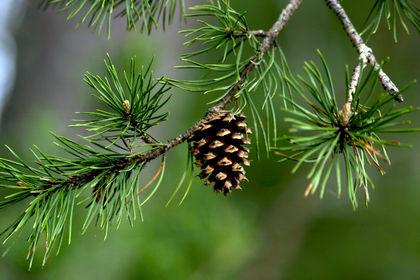 Is conifer evolution slow or fast…or both?